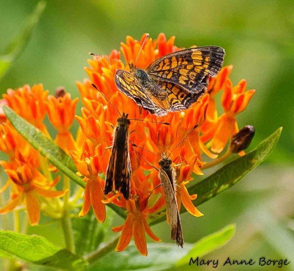 Pearl Crescent female (top) with two males hoping to capture her interest; on Butterflyweed (Asclepias tuberosa)