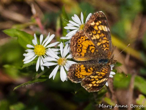 Pearl Crescent on aster