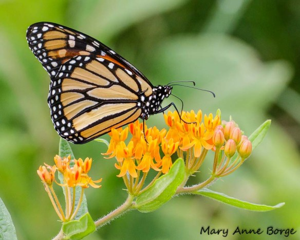 Monarch butterfly on Butterflyweed (Asclepias tuberosa), in the meadow at Pennswood Village, Newtown, PA