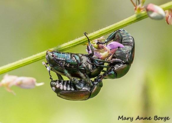 Japanese Beetles (Popillia japonica)