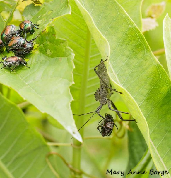 Wheel Bug (Arilus cristatus) preying on Japanese Beetle; more Japanese Beetles continue to eat in upper left.