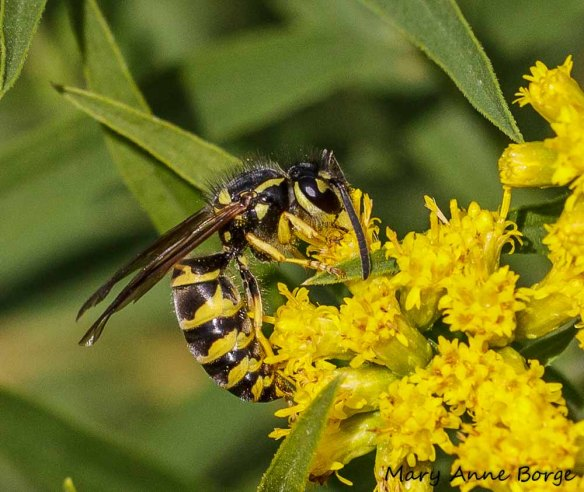 Eastern Yellowjacket (Vespula maculifrons) on Goldenrod (Solidago species)