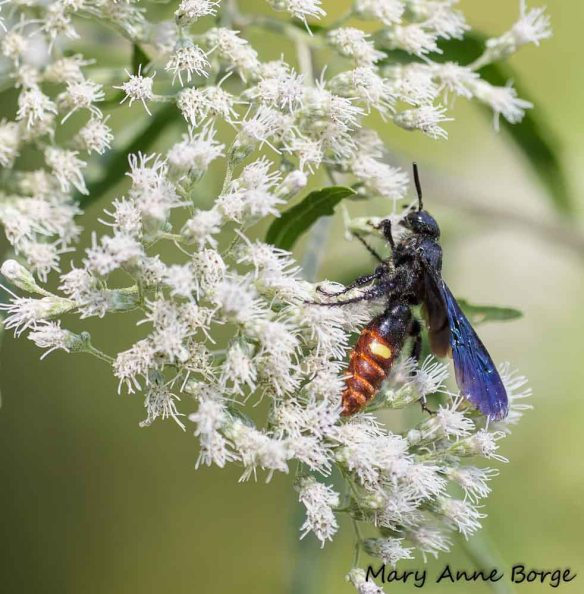 Scolia dubia on Boneset (Eupatorium species). Scolia dubia is known to prey on the larvae of Japanese Beetles.