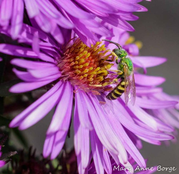 Sweat bee (Agapostemom species) feeding from New England Aster (Symphyotrichum novae-angliae)