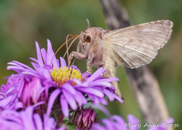 Common Looper Moth (Autographa precationis) feeding on New England Aster (Symphyotrichum novae-angliae)