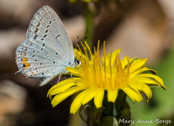 Eastern-Tailed Blue butterfly drinking nectar from dandelion