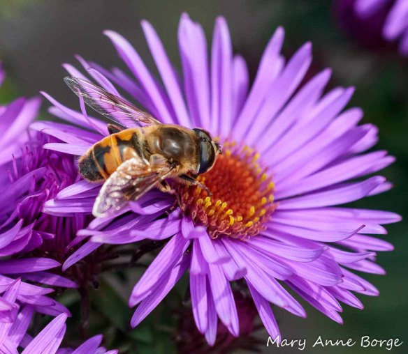 Flower fly (Eristalis arbustorum) feeding from New England Aster (Symphyotrichum novae-angliae)