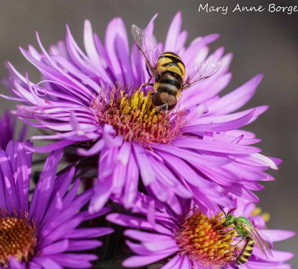 New England Asters (Symphyotrichum novae-angliae) with a flower fly (Eristalis transversa) and sweat bee (Agapostemom species)