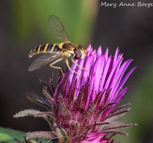 Flower fly (Sphaerophoria contigua) on New England Aster (Symphyotrichum novae-angliae)