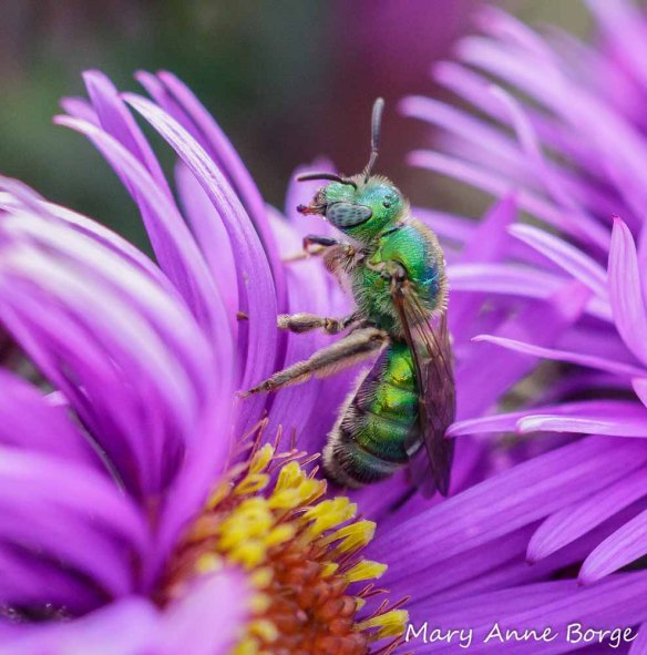 Sweat bee (Halictid family)