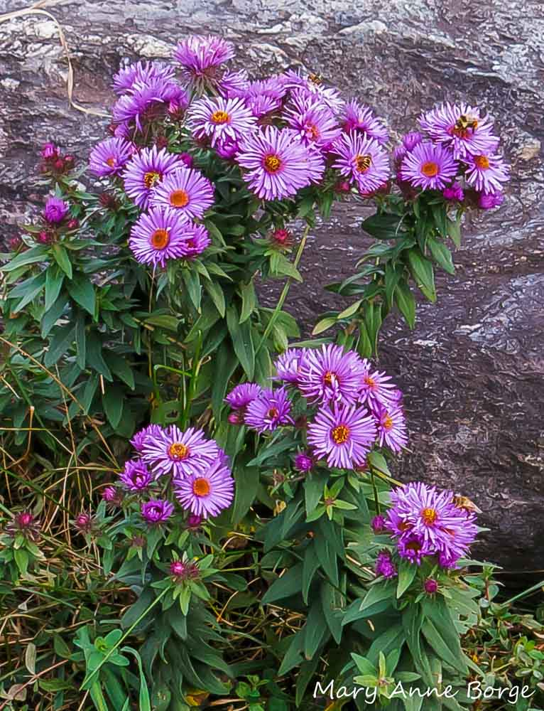 Aster Flower Varieties to Enhance the Beauty of Your Garden