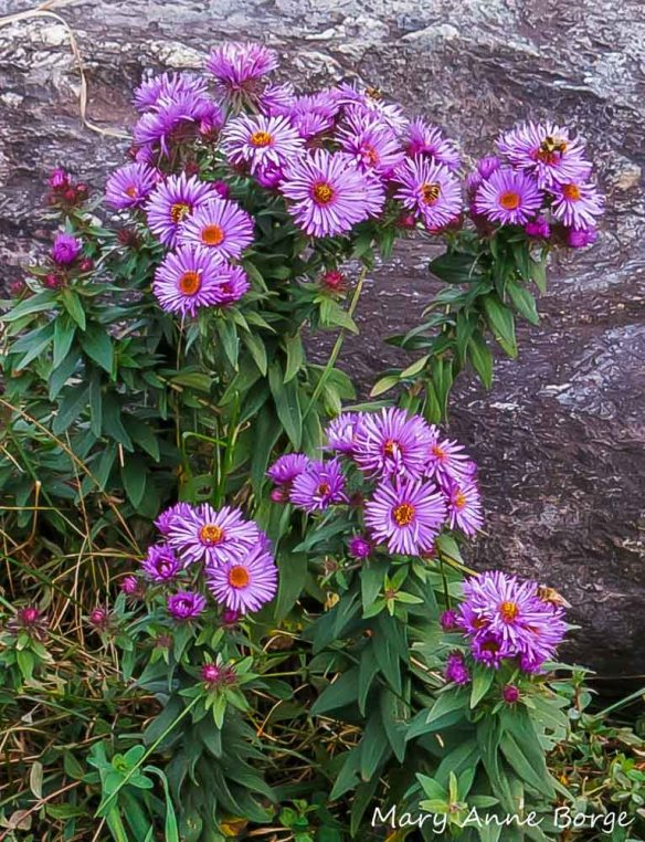 New England Asters (Symphyotrichum novae-angliae) with flower visitors. How many can you find?