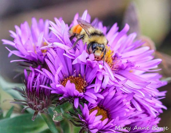 Tricolored Bumble Bee (Bombus ternarius) feeding on New England Asters (Symphyotrichum novae-angliae)