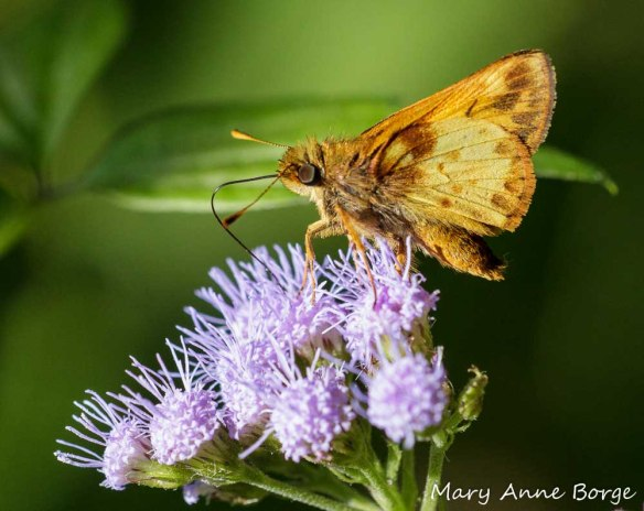 Zabulon Skipper nectaring from Mistflower (Conoclinium coelestinum)