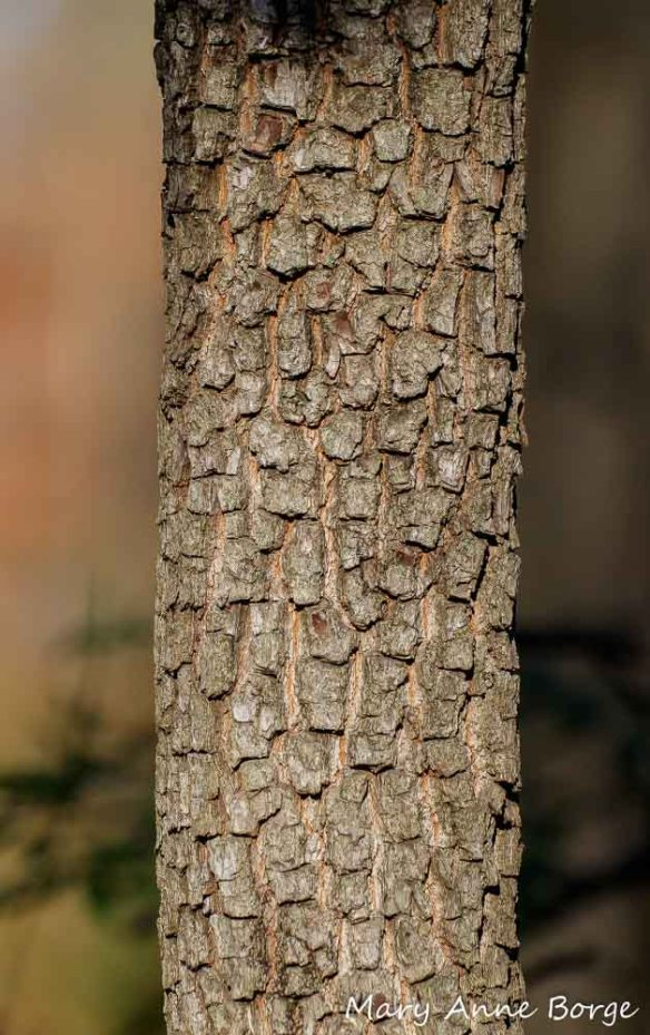 American Persimmon (Diospyros virginiana) bark, Sourland Mountains, West Amwell, NJ