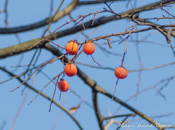 American Persimmon (Diospyros virginiana) fruit, Sourland Mountains, West Amwell, NJ