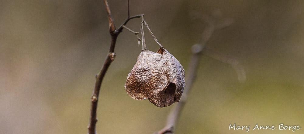 Hoptree (Ptelea trifoliata) samaras in winter