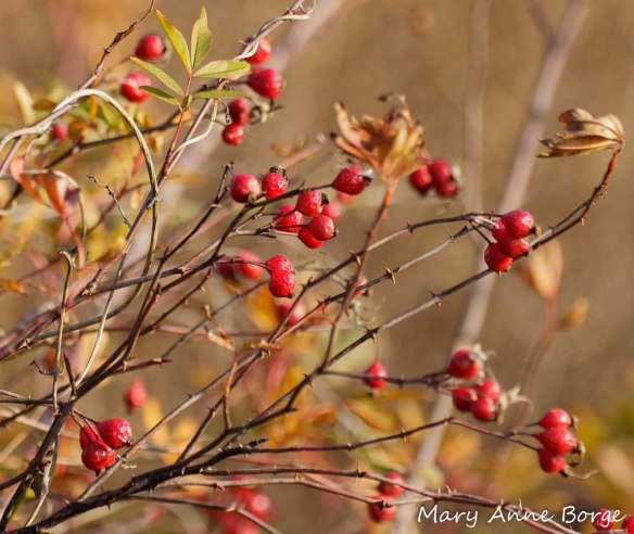 Hips of Swamp Rose (Rosa palustris). Rose hips are rich in vitamin C. The hips of some rose species are used in teas.