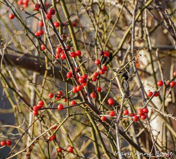 Winterberry Holly (Ilex verticillata) fruit