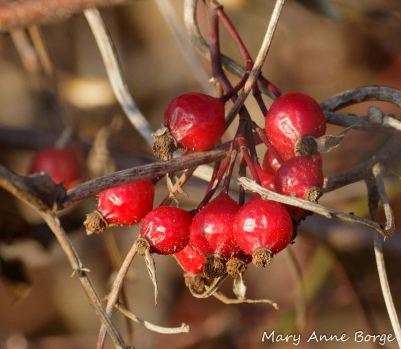Hips of Swamp Rose (Rosa palustris).