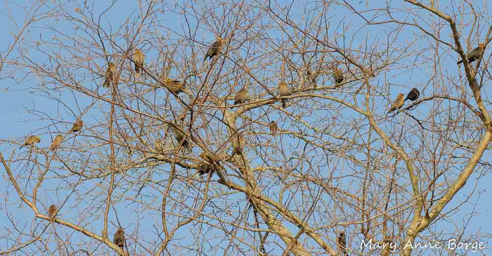 Red-winged and Rusty Blackbirds
