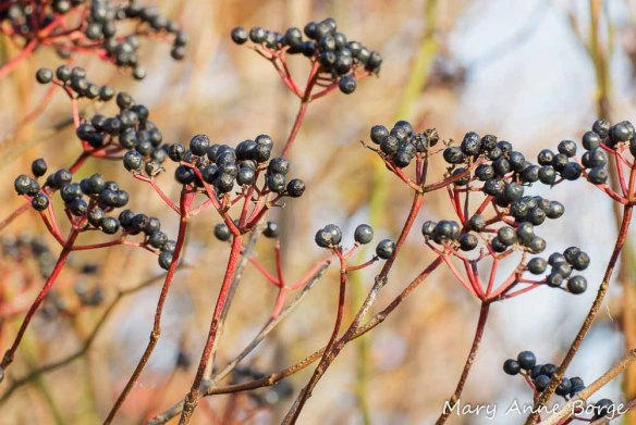 Arrowwood Viburnum (Viburnum dentatum) fruit