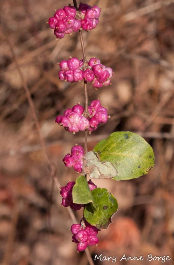 Coralberry (Symphoricarpos orbiculatus) fruit