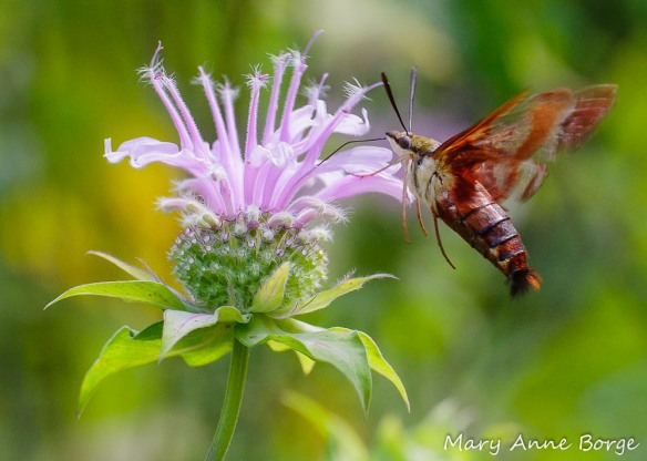 Hummingbird Clearwing Moth (Hemaris thysbe) drinking nectar from Wild Bergamot (Monarda fistulosa)