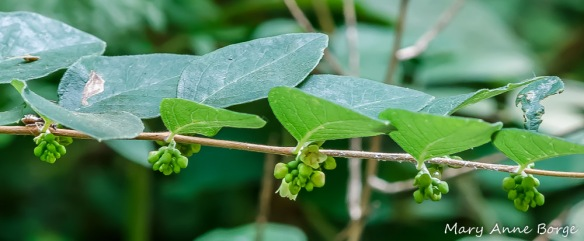 Coralberry (Symphoricarpos orbiculatus) flowers and buds