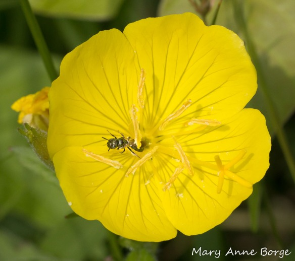 Sweat Bee, probably Lasioglossum oenotherae, on Evening Primrose
