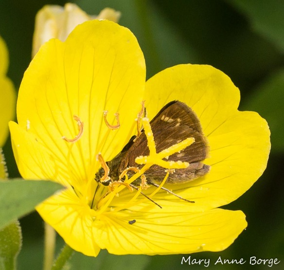 Little Glassywing drinking nectar from an Evening Primrose flower.