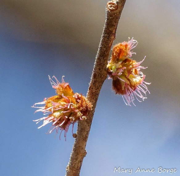 Slippery Elm (Ulmus rubra) in Bloom