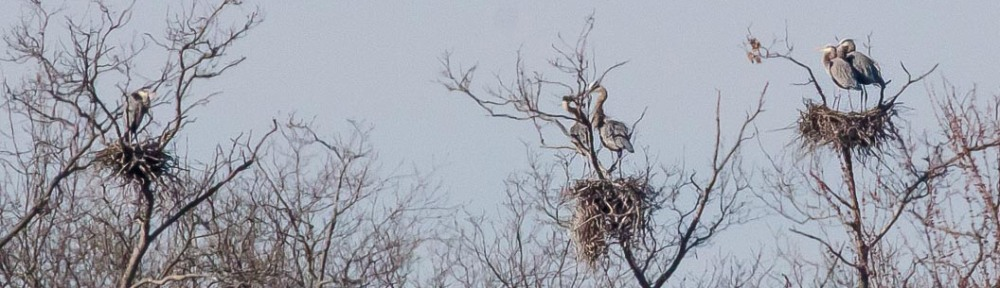 Courting Great Blue Herons at their rookery, Abbott Marshlands, Hamilton Township, New Jersey