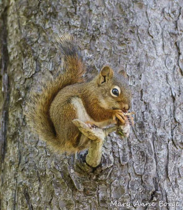 Red Squirrel - a consumer of elm seeds