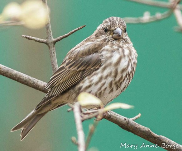 Female Purple Finch. Purple Finches are among the birds that eat elm seeds