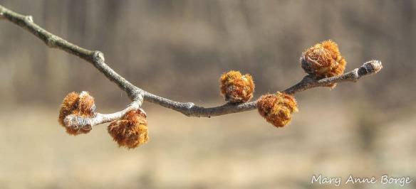 Slippery Elm (Ulmus rubra) Buds