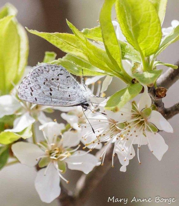 Spring Azure dringing nectar from Wild Plum (Prunus americanus) blossoms