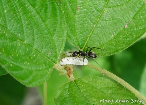 Ant guarding/palpating an Azure caterpillar for honeydew. They're on New Jersey Tea (Ceanothus americanus).