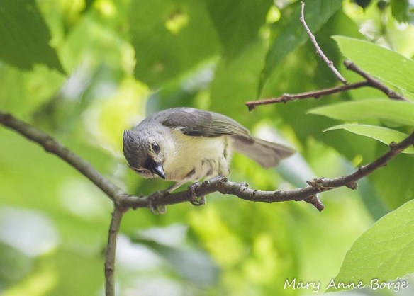 Hungry young Tufted Titmouse looking for food