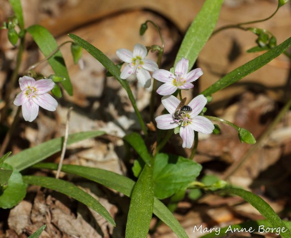 Spring Beauty (Claytonia virginica) with bee