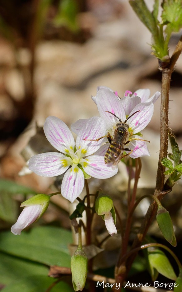 Spring Beauty (Claytonia caroliniana) with bee