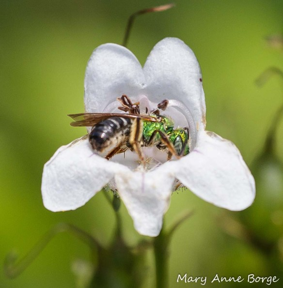 Sweat Bee on White Beardtongue (Penstemon digitalis)