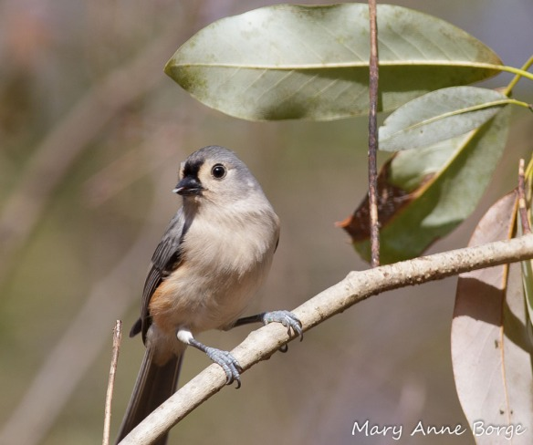 Tufted Titmouse - one of many bird species that harvest caterpillars from Black Cherry