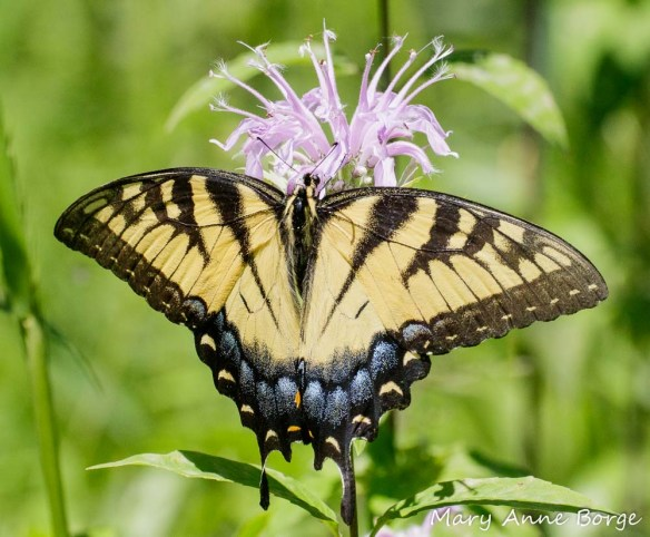 Eastern Tiger Swallowtail nectaring at Wild Bergamot (Monarda fistulosa) flowers