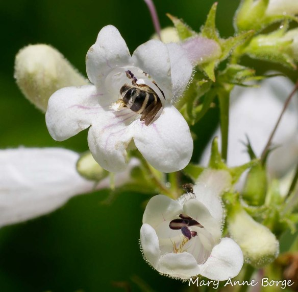 Bee visiting White Beardtongue (Penstemon digitalis), possibly harvesting pollen