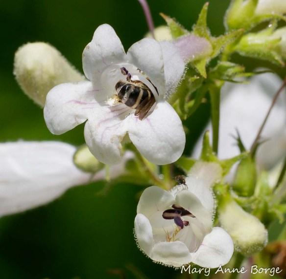 Bee visiting White Beardtongue (Penstemon digitalis), possibly harvesting pollen