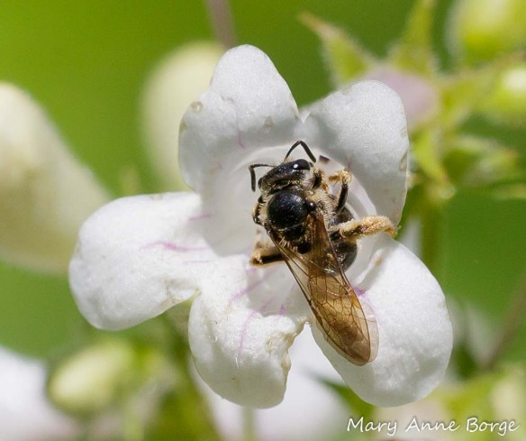 Bee on White Beardtongue (Penstemon digitalis)
