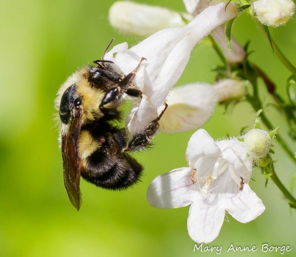Bumble Bee visiting White Beardtongue (Penstemon digitalis)