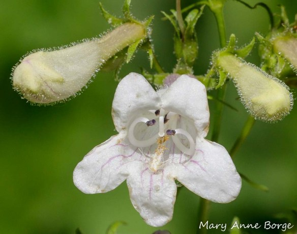 White Beardtongue (Penstemon digitalis) in the female phase. The stigma has replaced the anthers just below the center of the 'roof' of the flower.