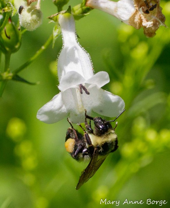 Female Bumble Bee on White Beardtongue (Penstemon digitalis). Note the harvested food on her hind leg.